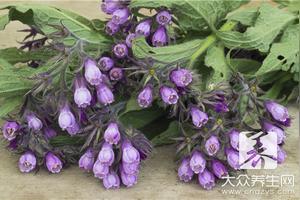 紫花苜蓿有什么作用