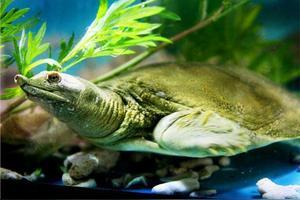 炖甲鱼为什么要把它的脂肪全摘掉