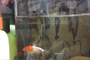为什么我家金鱼总是浮在水面吹泡泡