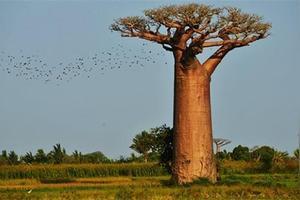 非洲茉莉花有什么好处