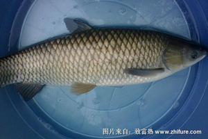 草青鱼和乌青鱼的区别