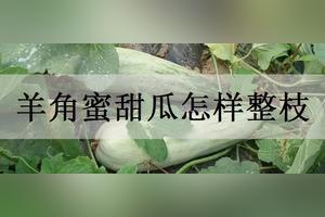 温室大棚种植的羊角蜜甜瓜吊起来种植,请问主蔓藤要不要掐尖,什么时候掐尖为好?