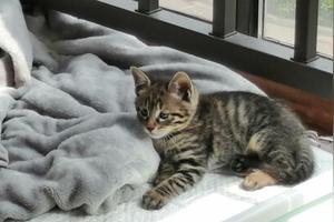 刚买回来的幼崽暹罗猫,爱猫养猫人士帮帮小弟吧