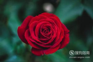 一朵玫瑰花的花语