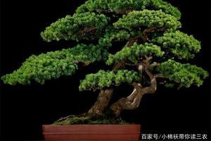 盆景中的黑松、五针松、黄山松等,哪种类型松更具有观赏性和价值?为什么?