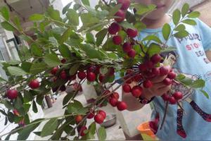 钙果树能做盆景吗