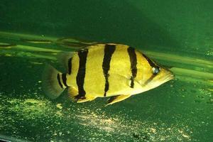 鹦鹉鱼可以和印尼虎或者泰国虎混养吗
