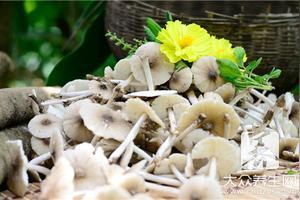 雪莲菌可以长期喝吗