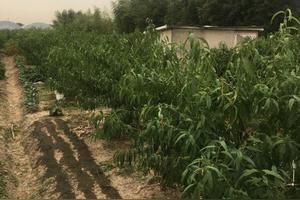 上海周边茶叶采摘