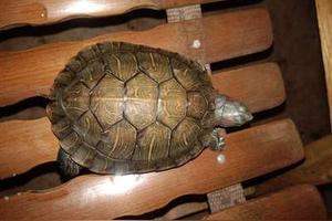 巴西龟身上长白东西是咋回事