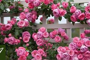 盆栽月季花冬天在外边冻不死吧
