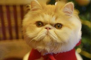 英短吃什么猫粮胖脸