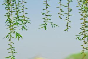 描写柳树很绿的词语