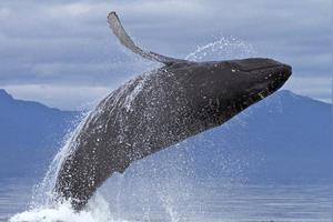海豚为什么要跳出水面