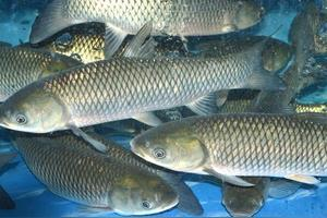 乌青鱼和青鱼的区别?