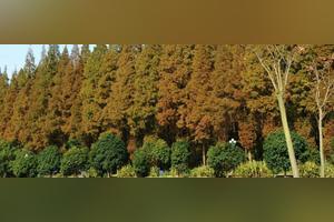 水杉现在在哪里还有?它的生长条件都有哪些