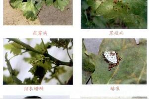 夏黑抗线结虫吗?怎么种植?
