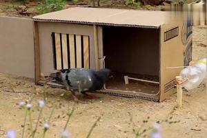 捉鸽子的最快方法
