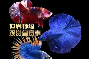 野生老头鱼喜欢吃什么食物?
